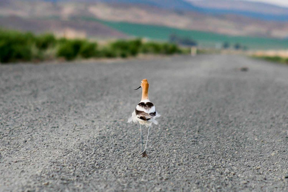 Eventually you take less pictures of birds and flowers and bugs...and take them completely out of your portfolio!!!!!!!! BUT I still love this one.American Avocet journeying on a trail at Klamath Wildlife Refuge in Oregon.