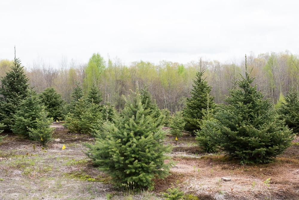 Arrowhead Acres is also a Christmas Tree Farm - located in Uxbridge, Massachusetts.